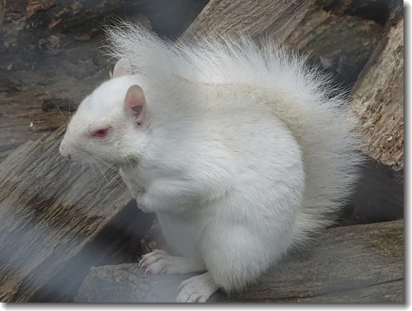 whiter squirrel